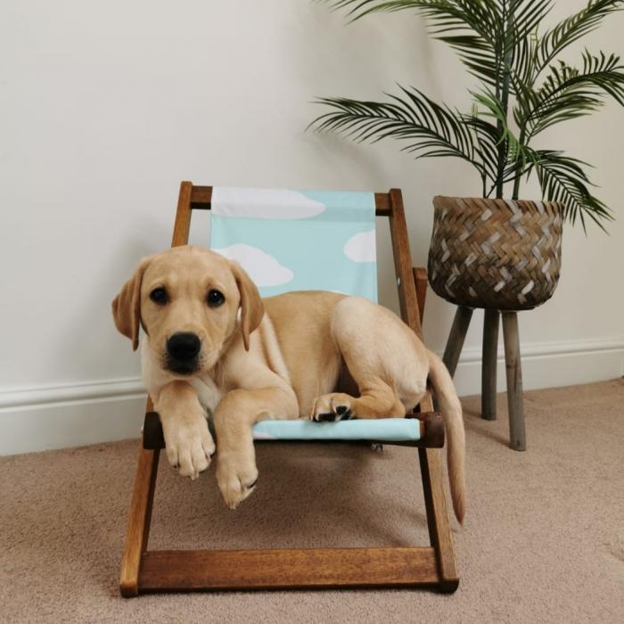 Labrador puppy in deckchair