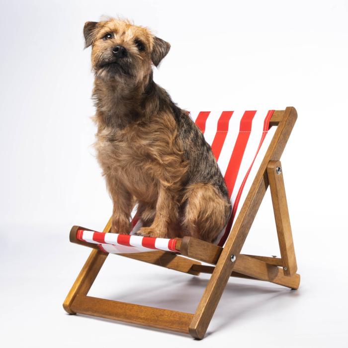 Border Terrier in Stripy Deckchair